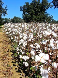 Cotton In Fairhope on Hwy 181 - Fairhope Supply Co.