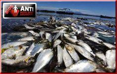 Mistério: Milhares de Peixes Aparecem Mortos nas Costas da Argentina, Uruguai e Brasil ~ Disso Voce Sabia?