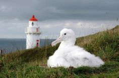 The-Royal-Albatross-Centre-albatross-at-taiaroa-head-with-lighthouse-in-the-background-otago-peninusla.jpg