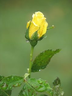 198 best give me yellow roses images on pinterest beautiful my yellow rose mightylinksfo