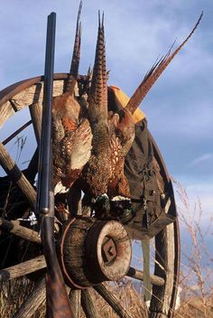 Hunting Montana's wild pheasants in late fall. Grouse Hunting, Quail Hunting, Pheasant Hunting, Duck Hunting, Hunting Dogs, Hunting Birthday, Deer Mounts, Hunting Pictures, Duck Decoys