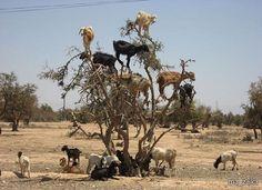 Козы-древолазы   Марокко - единственная в мире страна, где козы из-за нехватки травы взбираются на деревья и пасутся там целыми стадами, лакомясь плодами аргании - дерева из орехов которого производят душистое масло. Пастухи пасут коз, перемещаясь от дерева к дереву. А когда козы покидают дерево, собирают под ним орехи, которые не перевариваются желудком коз.
