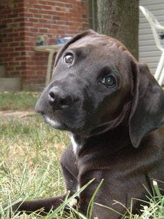"My future dog, the ""Boxador"""