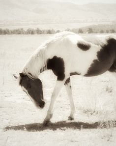 Horse Photograph black and white sepia wild mustang pinto 8x10. $30.00, via Etsy.