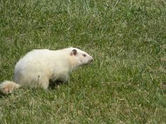 albino groundhog pictures | Albino Groundhog