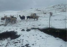 Animales  cuadrúpedos mueren por violentas nevadas en lugares de puno