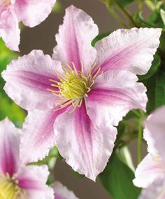 Clematis 'Piilu' | Trees & Shrubs | Bakker