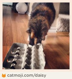 The One Who Feeds Me is making me work for my kibble. Again. #Daisy (Putting dry kibble in an egg carton can be a fun food puzzle for cats.)