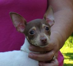 Brown Toy Fox Terrier | AVAILABLE - TOY FOX TERRIERS
