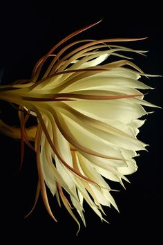 Night-blooming Cereus flower.