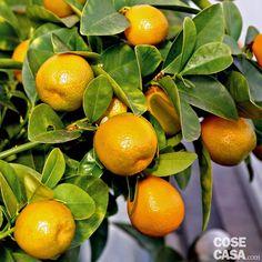 Per chi ama gli agrumi, il kumquat è un piccolo albero sempreverde che si può coltivare in vaso in casa, ma anche in piena terra in giardino.