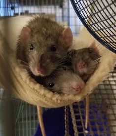These boys like their new hammock. #aww #cute #rat #cuterats #ratsofpinterest #cuddle #fluffy #animals #pets #bestfriend #ittssofluffy #boopthesnoot
