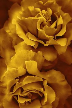 Lovely ruffled golden yellow Rose flowers photography art vertical design for your home or office. Copyright by Jennie Marie Schell. Mustard Yellow Paints, Mustard Yellow Bedrooms, Mustard Yellow Outfit, Mustard Yellow Decor, Mellow Yellow, World Of Color, Color Of The Year, Mango Mojito, Pot Pourri