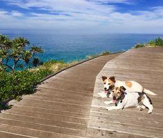 Chloe & Max taking in the beautiful views at Cabarita Headland  #australia #australia_oz #aussiephotos  #best_photogram #exploreaustralia #exploringaustralia #goldcoast #igersgoldcoast #ig_australia  #igs_oceania #loves_united_australia#postcardsfromtheworld #socialifeaustralia #tourismaustralia  #visitgoldcoast #wow_australia2016 #dogsofig #dog_features #dogwalk #jackrussellsofinstagram #cutedog #adventurewithdogs #cabarita #cabaritabeach #headland #pacificocean #oceancity #oceanview…