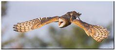 Barn Owl dive! by Conrad Tan