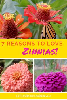 I love zinnias in my garden! Flowers attract pollinators and give beautiful color to the environment. Zinnias are heat tolerant and drought tolerant too!