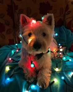 Archie in Christmas lights