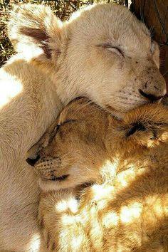 Lion cubs sleeping