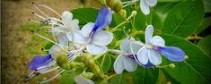 BORBOLETEIRA - As plantas do gênero Clerodendrum são trepadeiras de floração exuberante, boas opções para quem deseja cobrir um muro ou uma pérgola. No entanto, ao contrário das irmãs, a borboleteira é um arbusto que, se receber poda adequada, transforma-se em uma arvorezinha de 2 metros de altura – e em nada v... - http://ecorepelente.com/ecoblog/2015/01/14/borboleteira/