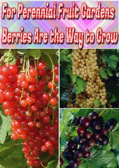 Hardy, easy to cultivate, resistant to disease, and quick to yield, berry bushes. Growing An Avocado Tree, Growing Grapes, Hydroponic Gardening, Organic Gardening, Gardening Tips, Sustainable Gardening, Indoor Gardening, Grow Banana Tree, How To Grow Bananas
