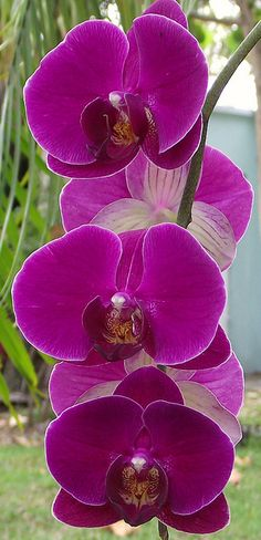 I  grow Phaleanopsis Orchids like this in my bathroom!  This particular variety is easy to grow indoors... Beautiful Plant