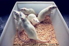 Blog do rato - Associação Brasileira de Franchising: Ratos para experiência.