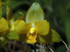 Orchid: Lycaste campbellii [GNYOS - Greater New York International Orchid Show - April 2005]