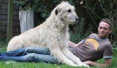 New Zealand Hero Dog Is a True Giant   Orvis News