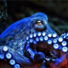 / I'm blue by Klaus Wiese - octopus Underwater Creatures, Underwater Life, Underwater Pictures, Beautiful Creatures, Animals Beautiful, He's Beautiful, Animal Original, Im Blue, Deep Blue