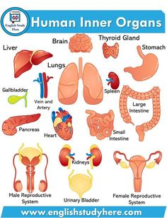 Human Inner Organs Names, Organs names in english with pictures; Liver Brain Lungs Stomach Thyroid Gland Gallbladder Vein and English Learning Spoken, Learning English For Kids, Teaching English Grammar, English Lessons For Kids, Kids English, English Writing Skills, English Vocabulary Words, English Language Learning, English Study