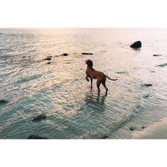 my pal #sandorthevizsla can't get enough of the ocean.  #vizslasofinstagram #vizsla #seaside #beach #balticsea #ocean #fb