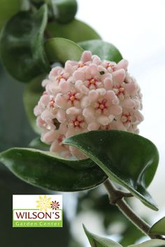Hoya - growing in our garden