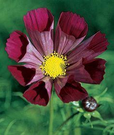 Cosmos,Pied Piper Red, Fluted Petals drought tolerant, indoor sow Feb
