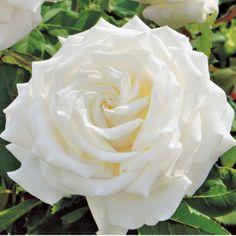 john paul rose  | Home  Pope John Paul II White Hybrid Tea Rose