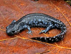 Blue Spotted Salamander, Ambystoma laterale