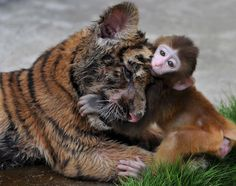 A baby macaque makes an unlikely friend with a tiger cub at a zoo in China.