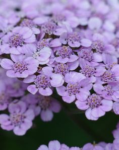 Achillea millefolium 'Lilac Beauty'---love all the little blooms clustered together.