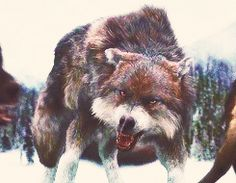 """ ✚ WOLF/WEREWOLF GIF HUNT ✚ "" As requested by myself, here is a gif hunt containing small, hq gifs of wolves/werewolves/shape-shifters. These gifs are from The Twilight Saga and can be used in. Anime Wolf, Twilight Wolf Pack, Twilight Saga, Wild Creatures, Fantasy Creatures, Wolf Spirit, Spirit Animal, Jacob Black, Werewolf Hunter"