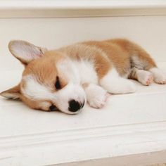 Acquire fantastic suggestions on corgi. They are offered for you on our site. Cute Corgi Puppy, Welsh Corgi Puppies, Pembroke Welsh Corgi, Cute Dogs And Puppies, Mini Corgi, Teacup Puppies, Lab Puppies, Husky Puppy, Shepherd Puppies