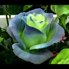 Beautiful Rose Flowers, Unusual Flowers, Flowers Nature, Amazing Flowers, Beautiful Flowers, Ronsard Rose, Roses Only, Types Of Roses, Colorful Roses
