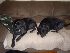 09/17/15-Introducing Apollo and Zeus! They are 10 year old black lab brothers! They are both easy going, laid back, get along great with dogs, and they don't bark much at all. They were dumped off at the Friends of Summit County Animal Control Department...