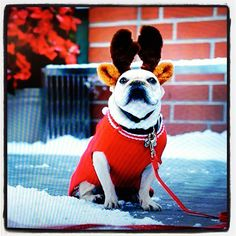 This French Bulldog is just too cute!