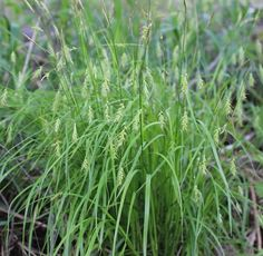"""Carex sprengelii (Long-beaked Sedge)""""great sedge"""" full to partial shade with any soil moisture"""