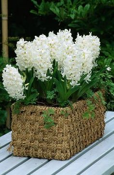 Basket On Table Planted With 'Carnegie' Hyacinths