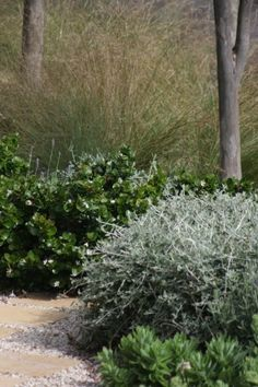 From front to back: Teucrium fruticans, Carissa 'Emerald Star' and Poa 'Suggan Buggan'