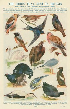 Vintage Bird Print Natural History Antique Illustration Bird feathers Eagle swan dove swallow Feathers finch grouse
