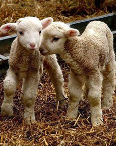 Photo of lamb-baby sheep for fans of Baby Animals 19892340 Cute Baby Animals, Farm Animals, Animals And Pets, Wild Animals, Baby Sheep, Sheep And Lamb, Wooly Bully, Baby Lamb, Tier Fotos