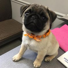 The traits we love about the Loyal Bulldog Dogs Pug Puppies, Pet Dogs, Dog Cat, Doggies, Baby Pugs, Pug Pictures, Cute Pugs, Funny Pugs, Pug Love