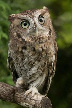 Screech_Owl.jpg by Rob Scott on 500px