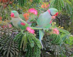 Alexandrine Parakeet or Alexandrian Parrot (Psittacula eupatria) Pair. Left-Female,Right - Male. http://en.wikipedia.org/wiki/Alexandrine_Parakeet
